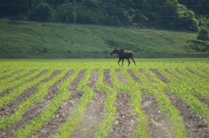 A moose picks its way through a field on the corner of North Williston Road and River Road on June 20. Williston resident Steven Kahn spotted the moose in the morning, with a line of cars stopped to admire and photograph it. (Observer courtesy photo by Steven Kahn)