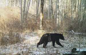 The Vermont Fish & Wildlife Dept. says some bears are still active and suggest waiting for six or more inches of snow and colder weather before putting up your bird feeders. (Courtesy photo by Kris & Norm Senna)