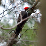 pileated-wood-_0011-pecker-27nov16
