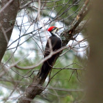 pileated-wood-_0012-pecker-27nov16