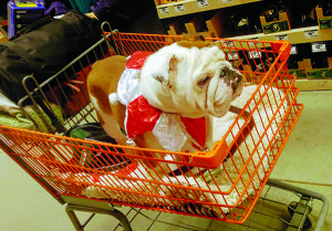 Observer photos courtesy Dawna Pederzani  ABOVE: Gus rides in a Home Depot shopping cart, dressed in his festive best.