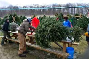 Observer photo by Al Frey Famer Mike Isham's crew prepares trees for travel at Isham's Family Farm in Williston on Sunday, Dec. 4. For more photos, visit the Web Extras Section at willistonobserver.com.