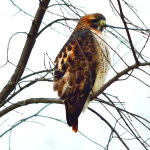 A Red-tailed Hawk, fluffed up against the winter cold,  looks for dinner along North Williston Road.