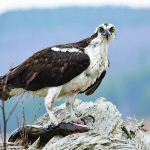 Observer courtesy photo An osprey is pictured near Lake Arrowhead in Milton earlier this month after catching a 2-foot northern pike. Milton's Meeri Zetterstrom, for which the GMP-Zetterstrom Environmental Award is named, was instrumental in returning the osprey population to the lake.