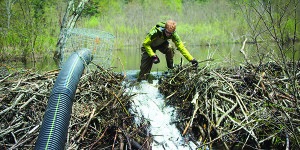 Observer courtesy photo Vermont Fish and Wildlife technician Tyler Brown installs a water control device, or beaver baffle, on a beaver dam in Bolton.