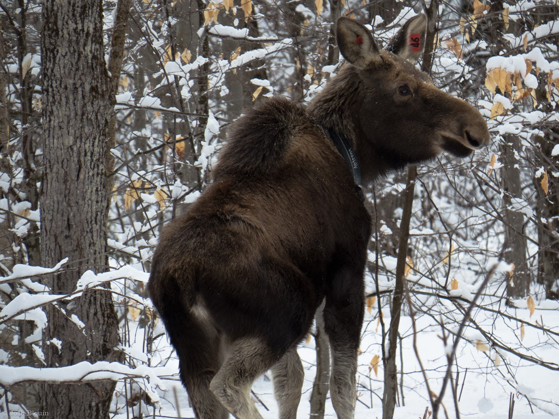 vermont fish wildlife gets 50k for moose study