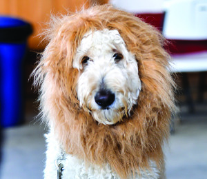 Lisa Murphy's dog Bear, a 2-1/2 year old Golden Doodle, becomes a lion at the dog costume party on Saturday at Isham's Family Far