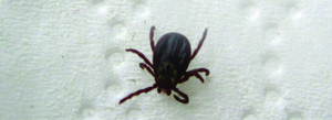 Observer courtesy photo Between 2013 and 2016, state researchers collected and tested more than 2,000 ticks. Sixty percent tested positive for at least one disease.