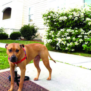 A Canine Resident Of The Apartment Building At 212 Day Lane Stops Outside Monday Dog Is Battling Flea Infestation That Has Worsened This