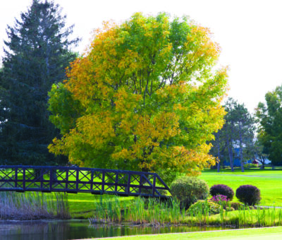 A tree turns yellow by the bridge at the Williston Country Club